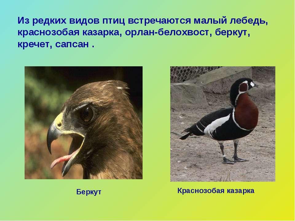 Из редких видов птиц встречаются малый лебедь, краснозобая казарка, орлан-бел...