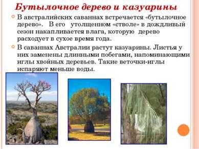 В австралийских саваннах встречается «бутылочное дерево». В его утолщенном «с...