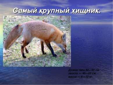 Самый крупный хищник. Длина тела 60—90 см, хвоста — 40—60 см, масса — 6—10 кг.