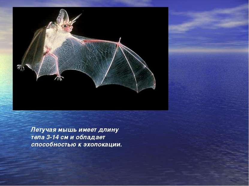 Летучая мышь имеет длину тела 3-14 см и обладает способностью к эхолокации.