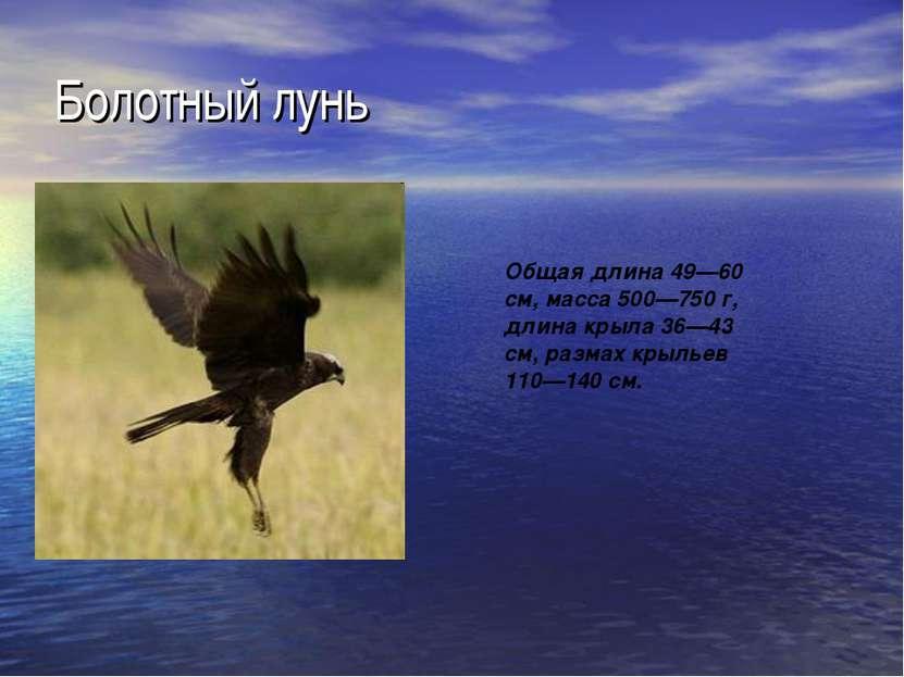 Болотный лунь Общая длина 49—60 см, масса 500—750 г, длина крыла 36—43 см, ра...