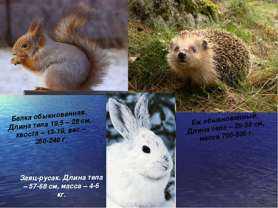 Белка обыкновенная. Длина тела 19,5 – 28 см, хвоста – 13-19, вес – 250-240 г....