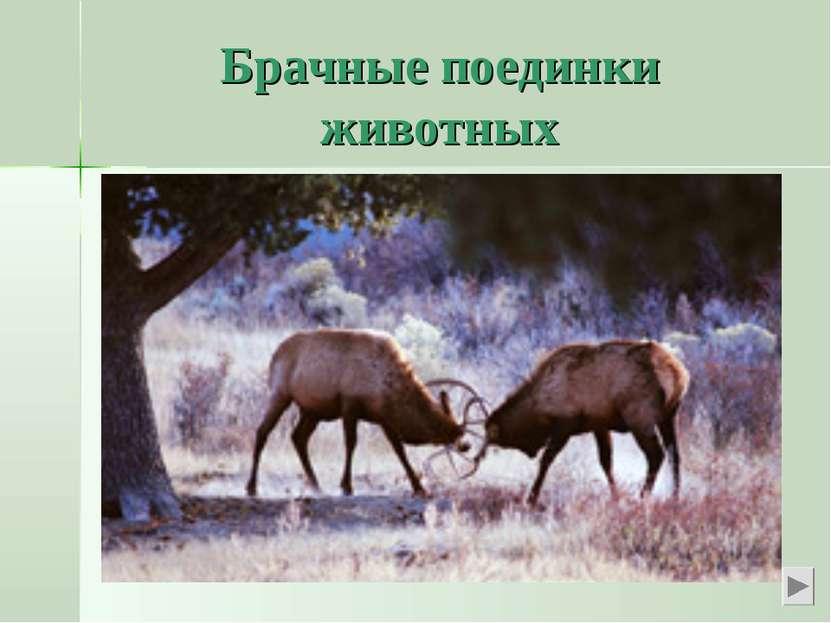 Брачные поединки животных Мы знаем о любовных поединках у парнокопытных живот...