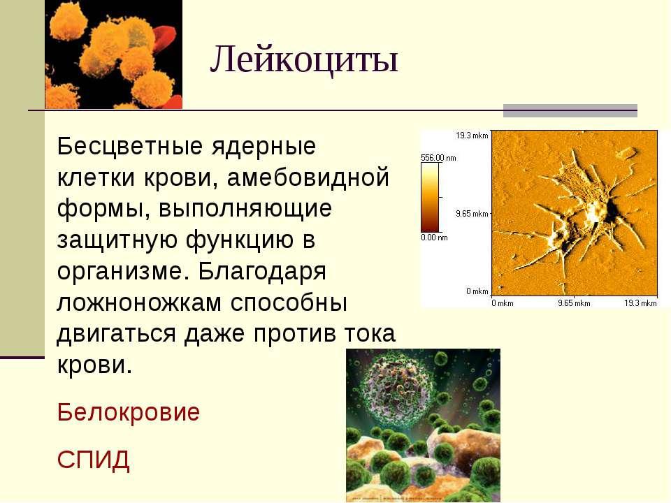 Лейкоциты Бесцветные ядерные клетки крови, амебовидной формы, выполняющие защ...