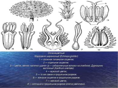 Сложноцветные. Мордовник шароносный (Echinops globifer): 1 — сложное головчат...