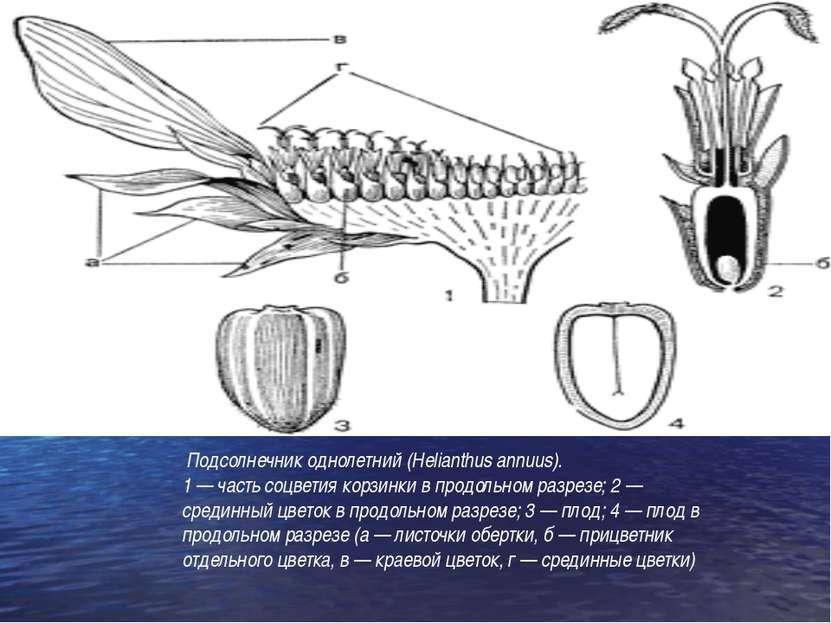 Подсолнечник однолетний (Helianthus annuus). 1 — часть соцветия корзинки в пр...