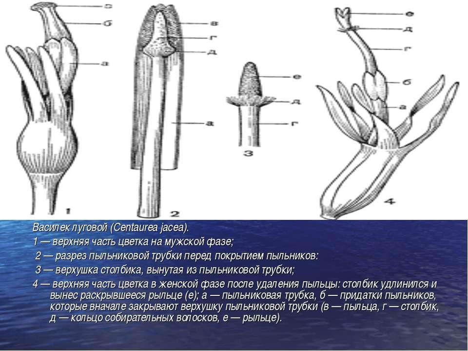 Василек луговой (Centaurea jacea). 1 — верхняя часть цветка на мужской фазе; ...
