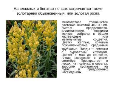 На влажных и богатых почвах встречается также золотарник обыкновенный, или зо...