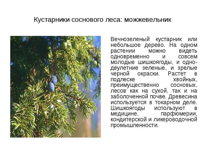 Кустарники соснового леса: можжевельник Вечнозеленый кустарник или небольшое ...