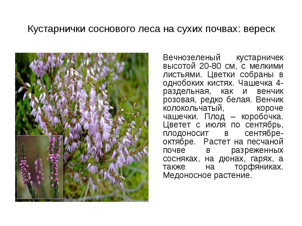 Кустарнички соснового леса на сухих почвах: вереск Вечнозеленый кустарничек в...