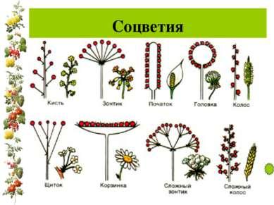 Соцветия