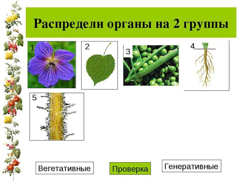 Распредели органы на 2 группы Вегетативные Генеративные Проверка