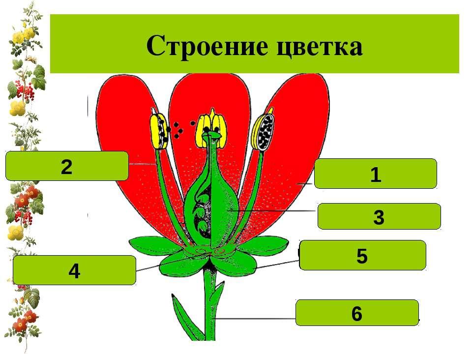 Строение цветка Лепесток 1 Тычинка 2 Цветоложе 4 Цветоножка 6 Чашелистик 5 пе...