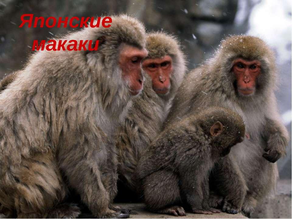 Японские макаки