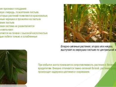 Внешние признаки голодания: - в первую очередь, пожелтение листьев. - у некот...
