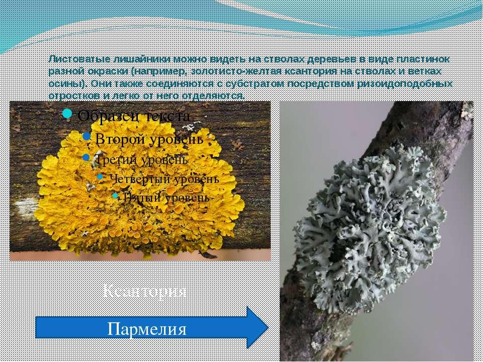 Листоватые лишайники можно видеть на стволах деревьев в виде пластинок разной...
