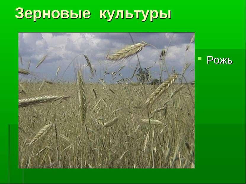 Зерновые культуры Рожь