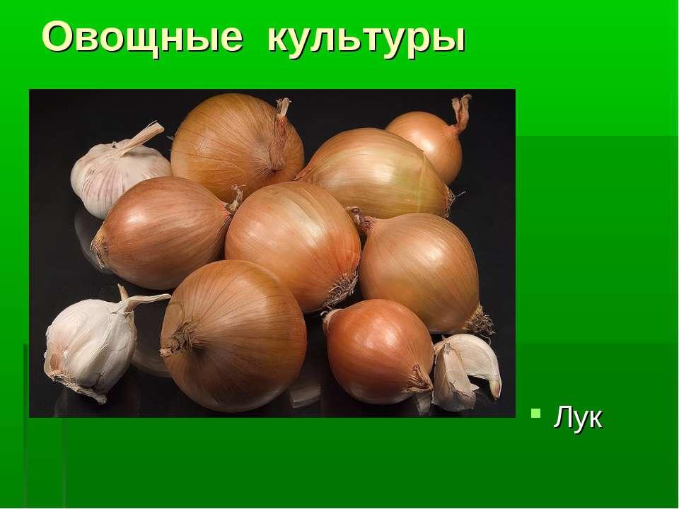Овощные культуры Лук