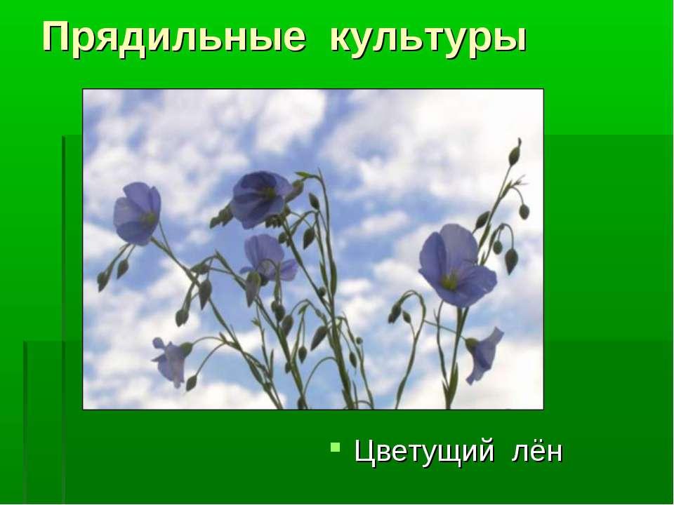 Прядильные культуры Цветущий лён