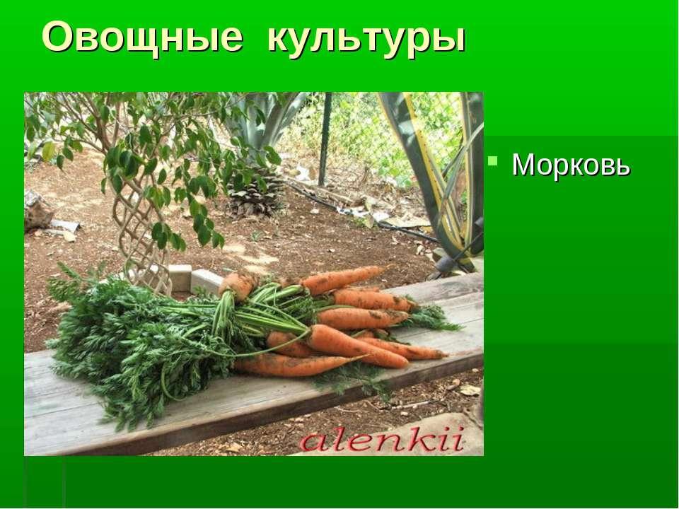 Овощные культуры Морковь