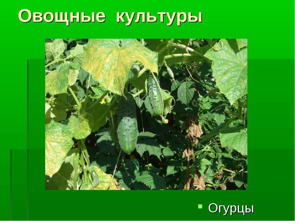 Овощные культуры Огурцы