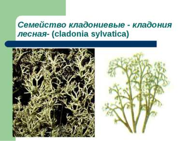 Семейство кладониевые - кладония лесная- (cladonia sylvatica)
