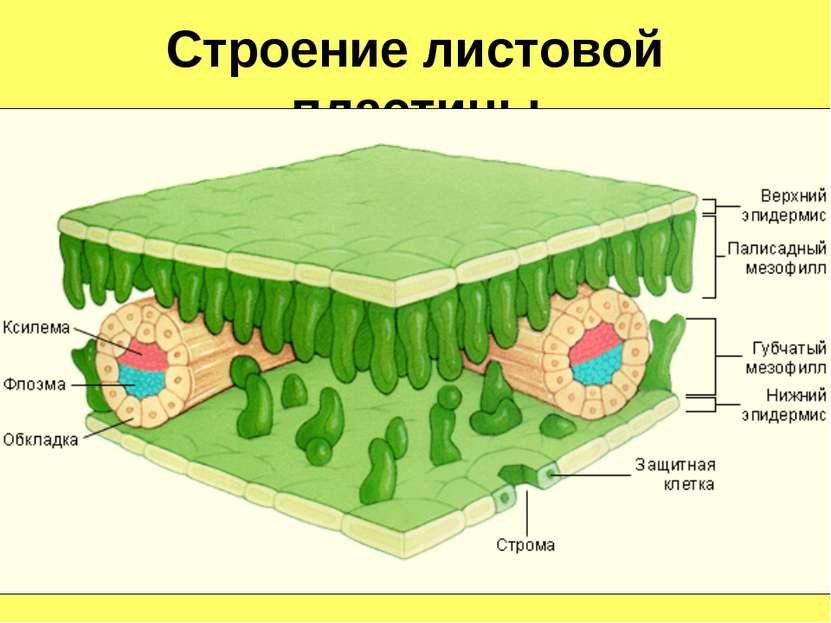 Строение листовой пластины