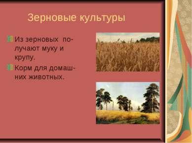 Зерновые культуры Из зерновых по-лучают мукуи крупу. Корм для домаш-них живо...