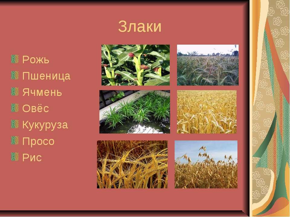 Злаки Рожь Пшеница Ячмень Овёс Кукуруза Просо Рис