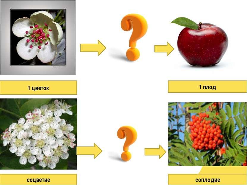 1 цветок соцветие 1 плод соплодие