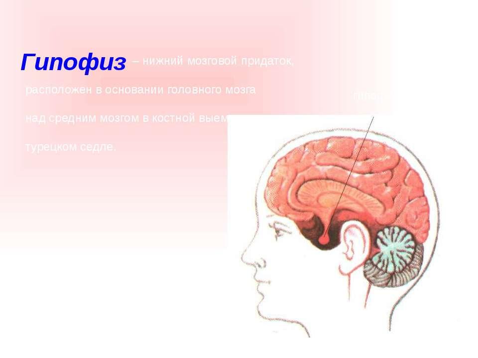 – нижний мозговой придаток, расположен в основании головного мозга над средни...
