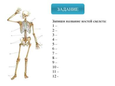 ЗАДАНИЕ Запиши название костей скелета: 1 – 2 – 3 – 4 – 5 – 6 – 7 – 8 – 9 – 1...