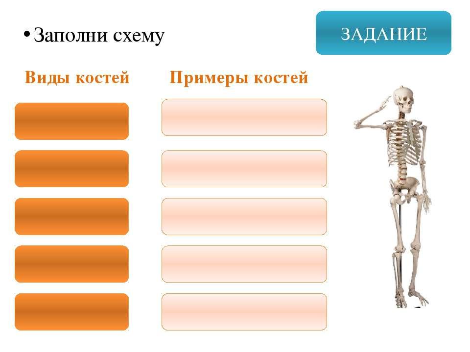 ЗАДАНИЕ Заполни схему Виды костей Примеры костей