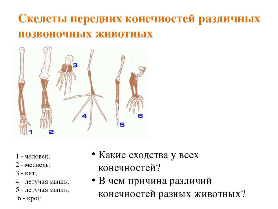 Скелеты передних конечностей различных позвоночных животных 1 - человек; 2 - ...