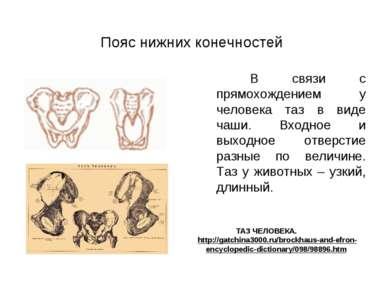 Пояс нижних конечностей В связи с прямохождением у человека таз в виде чаши. ...