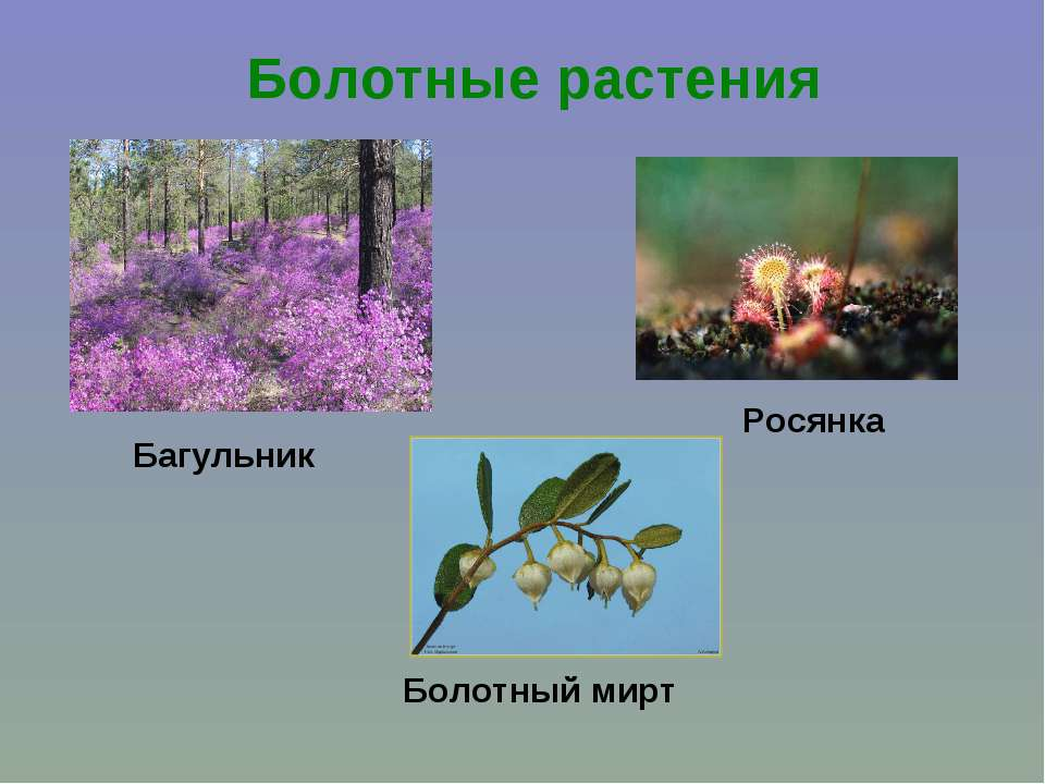Болотные растения Багульник Росянка Болотный мирт