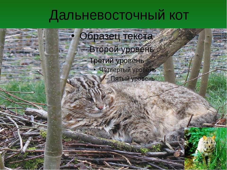 Дальневосточный кот