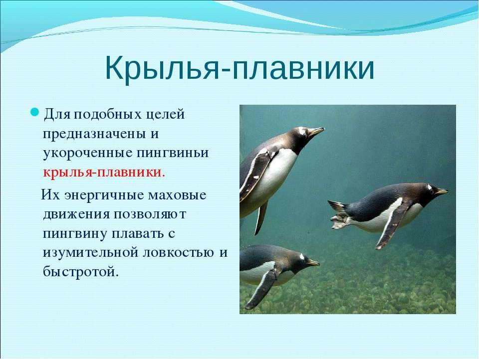 Крылья-плавники Для подобных целей предназначены и укороченные пингвиньи крыл...