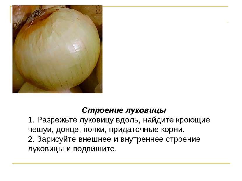 Строение луковицы 1. Разрежьте луковицу вдоль, найдите кроющие чешуи, донце, ...