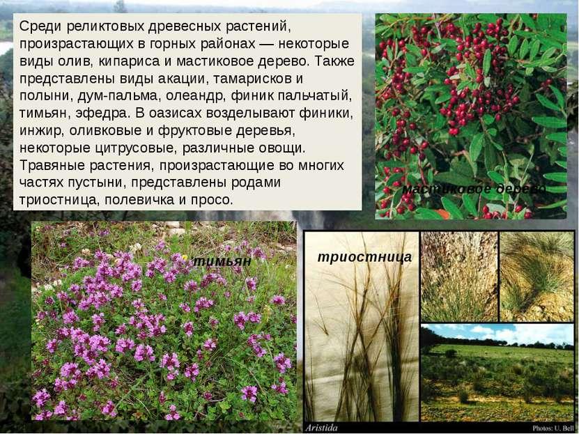 Среди реликтовых древесных растений, произрастающих в горных районах — некото...