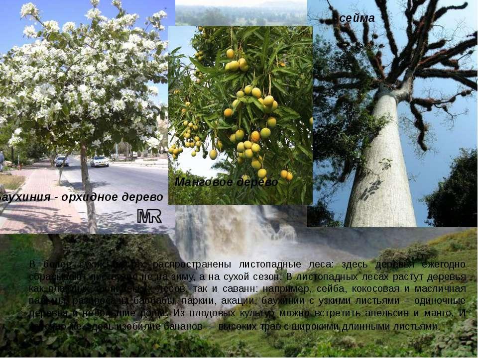 В более сухих местах распространены листопадные леса: здесь деревья ежегодно ...