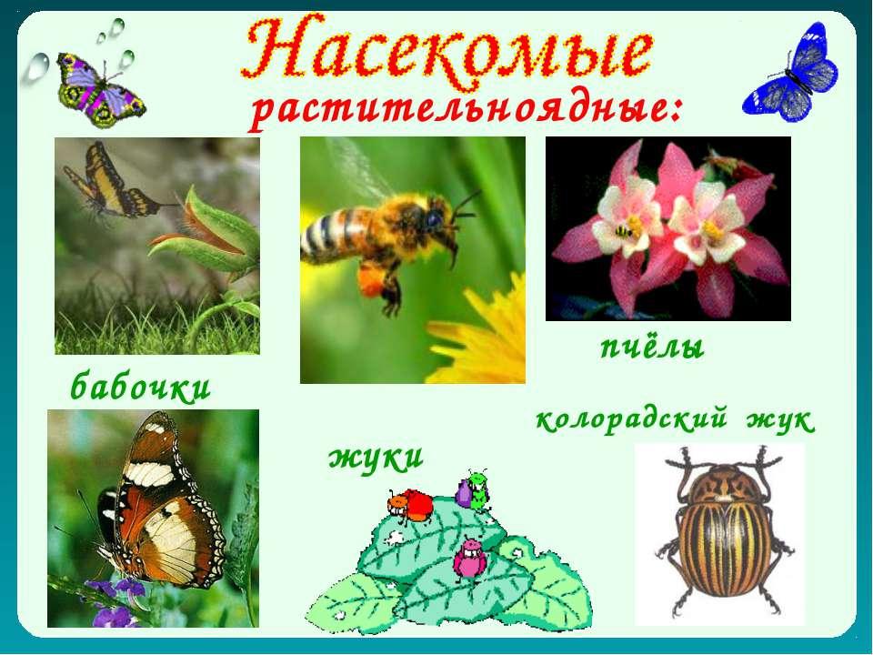 растительноядные: бабочки пчёлы жуки колорадский жук