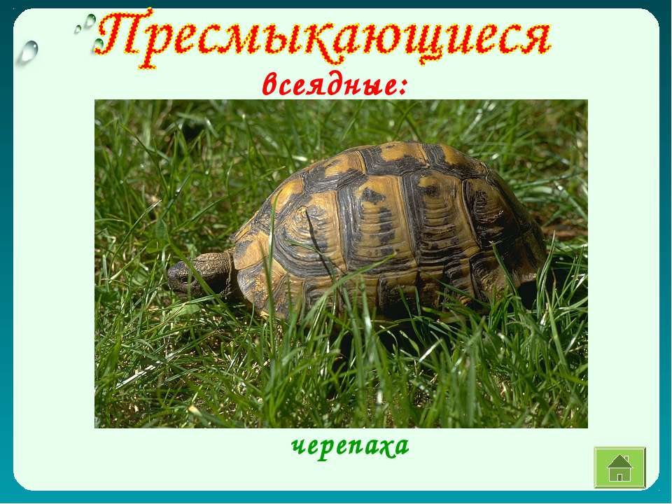 всеядные: черепаха