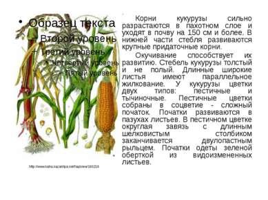 Корни кукурузы сильно разрастаются в пахотном слое и уходят в почву на 150 см...