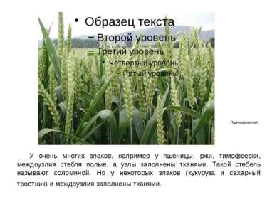 У очень многих злаков, например у пшеницы, ржи, тимофеевки, междоузлия стебля...
