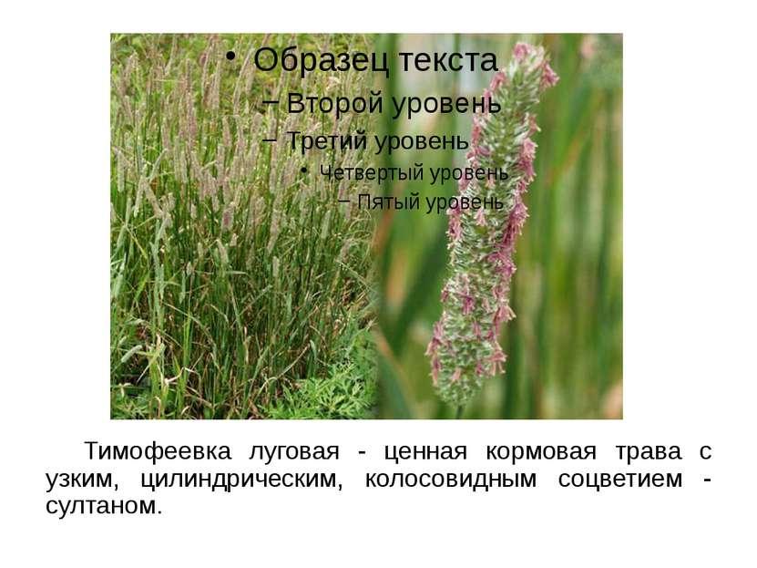 Тимофеевка луговая - ценная кормовая трава с узким, цилиндрическим, колосовид...