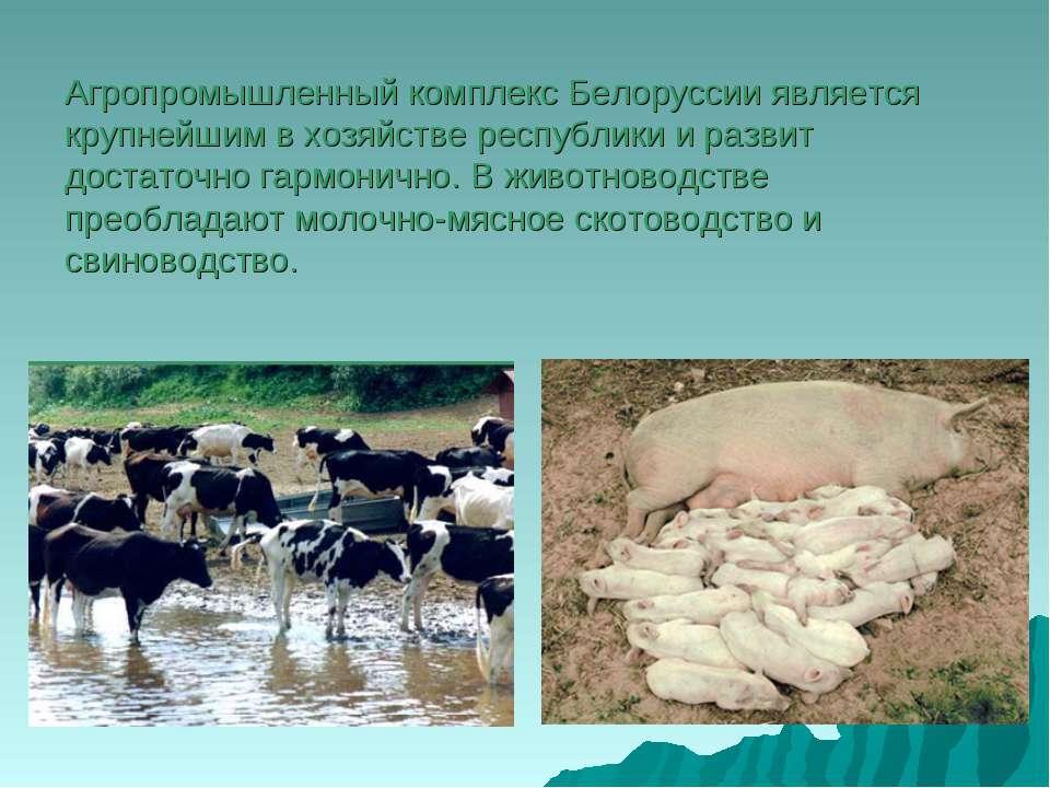 Агропромышленный комплекс Белоруссии является крупнейшим в хозяйстве республи...