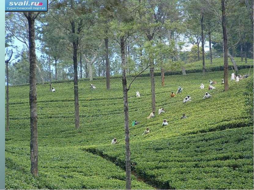 Стадии переработки чая : Листья сушат Накручивают на рулон Раскладывают в про...