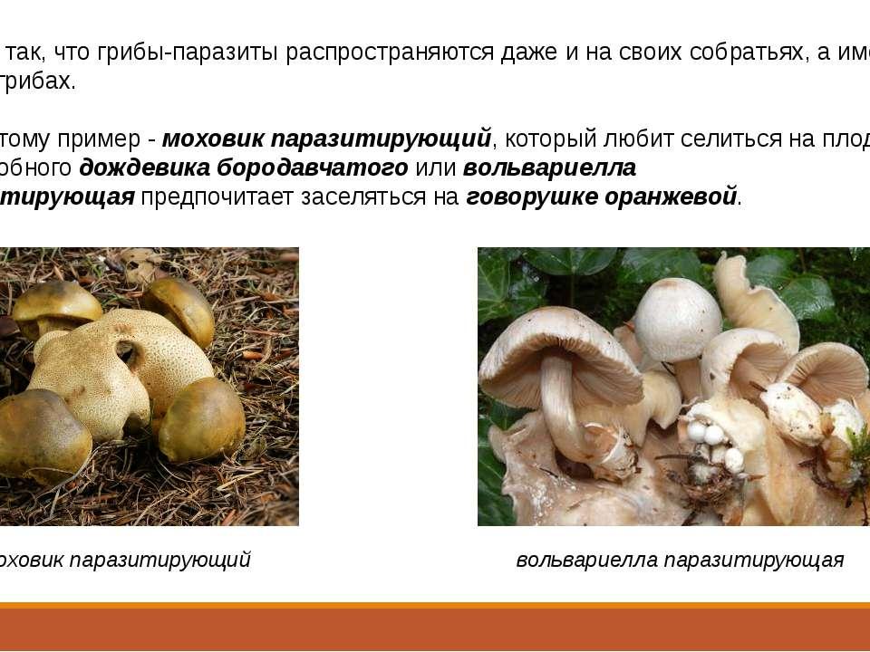 Бывает так, что грибы-паразиты распространяются даже и на своих собратьях, а ...