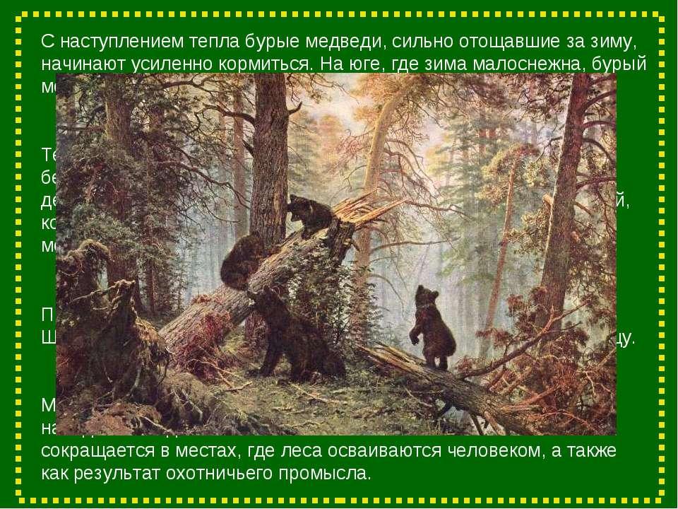 С наступлением тепла бурые медведи, сильно отощавшие за зиму, начинают усилен...